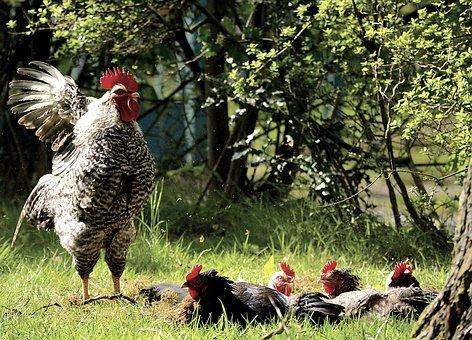 Hahn, Chickens, Bird, Poultry, Bill, Animal, Gockel