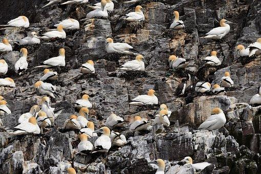 Gannets, Seabird, Colony, Bird, Lighthouse, Coastline