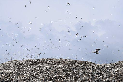 Flying, Soaring, Colony, Gannets, Bass Rock, Uk