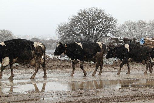 Turkey, Cold, Snow, Wet, Cow, Animals