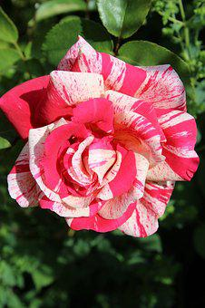 Rose, White Pink, Pink White, Rose Bloom, Fragrant Rose