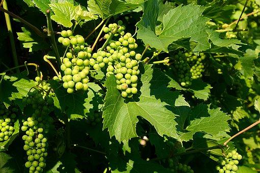 Wine, Grapes, Fruits, Red Grape Varieties