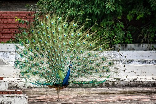 Peacock, Bird, Plumage, Feather, Peacock Feather