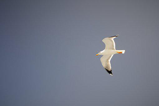 Seagull, Summer, Nature, Blue Skies, Birds