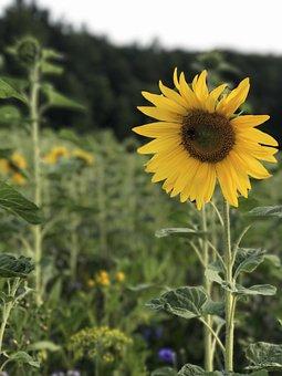 Sun Flower, Field, Summer, Nature, Flower, Yellow