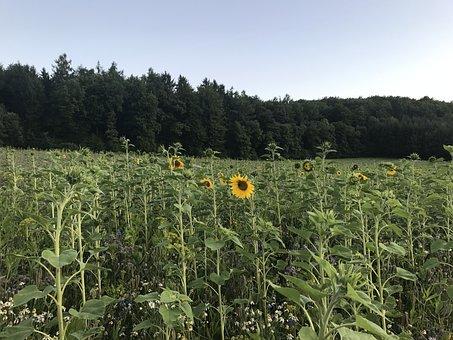 Sunflower Field, Summer, Sunflower, Yellow, Bloom