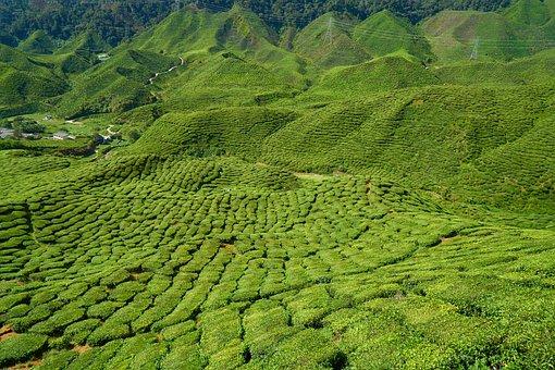 Tea, Field, Plant, Tiny Tree, Nature, Peace, Sunny