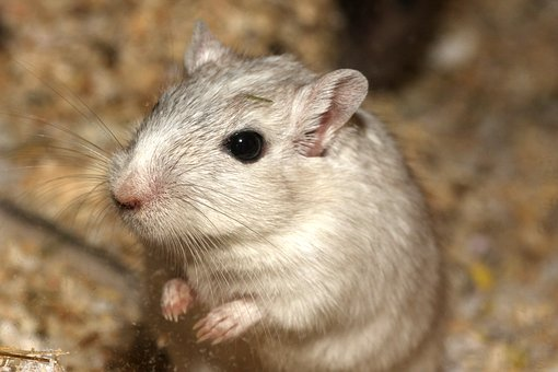 Hamster, Mouse, White, Pet, Sweet, Cage, Begging, Cute