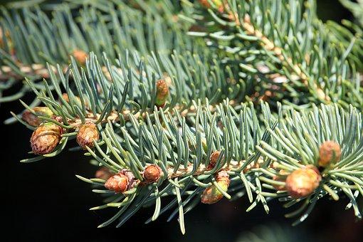 Fir, Plant, Nature, Needles, Tannenzweig, Close