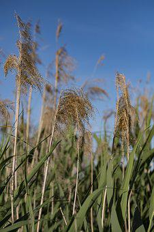 Nature, Waters, Reed, Grass, Teichplanze, Plant, Seeds