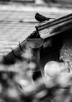 Blackbird, Roof, House, Bird, Nature, Animal, Beak
