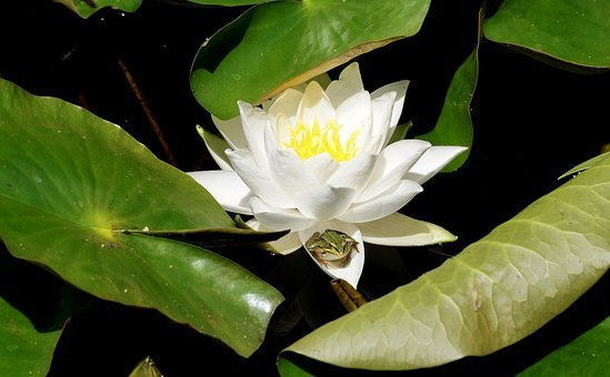 Water Lily, Aquatic Plant, Blossom, Bloom, Nature