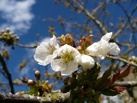 Flowers Of Apple Tree, Spring, Blue Sky, Fruit Tree