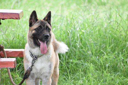German Shepherd, Dog, Canine, Faithful, Joyful