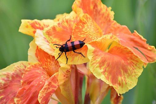 Canna, Beetle, Flower, Bloom, Yellow Orange