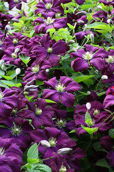 Clematis, Violet, Plants, Flower, Petals, Nature