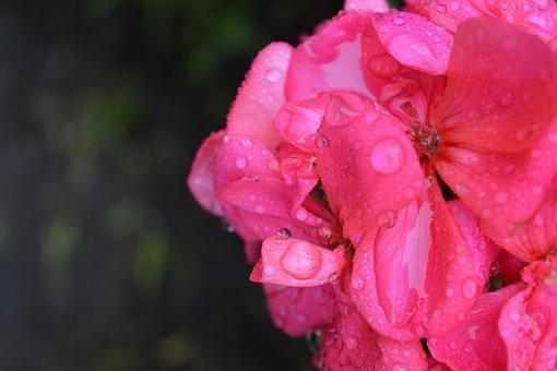Flower, Rosa, Drizzle, Drops