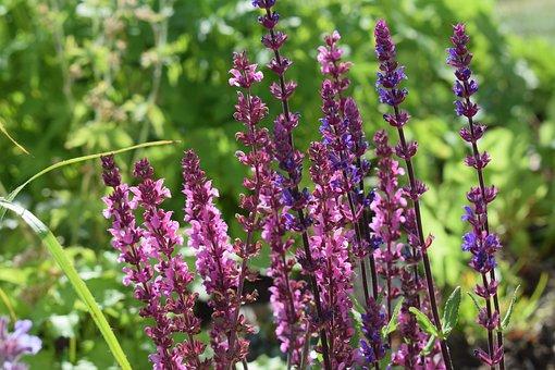 Sage, Perennial, Flower, Sky Blue, Grass, Flowers