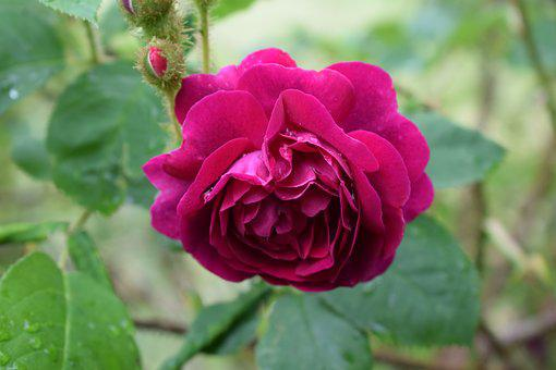Ros, Roses, Pink, Flower, Garden, Pink Rose, Flowers