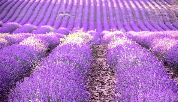 Lavender, Provence, Field, Flowers, Nature