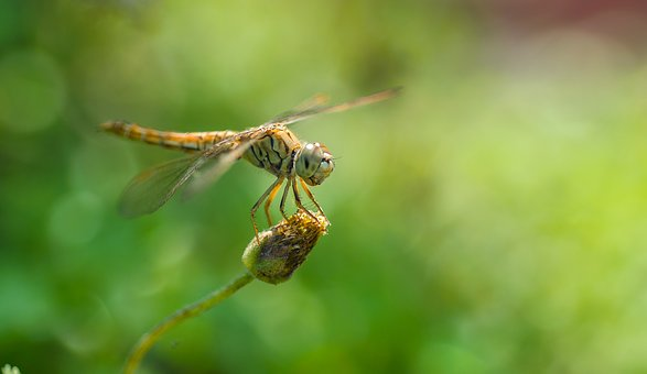 Dragonfly, Bugs, Nature, Wildlife, Insect, Fly