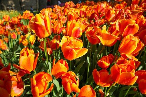 Beautiful Tulip Flower, Green Leaf Background