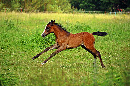 Horse, Gallop, Foal, Suckling, Thoroughbred Arabian