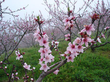 Peach Blossom, In Full Bloom, Close-up