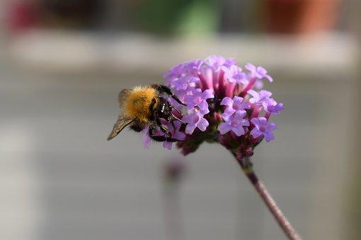 Bumblebee, Verbena, Purple, Insect, Garden, Flower