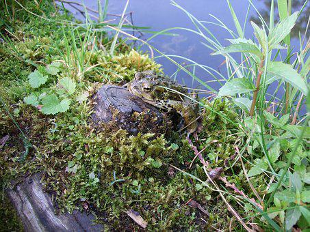 Frog, Pond, Nature, Amphibian, Lake, Wild, Forest