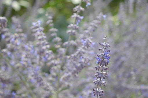Lavender, Flower, Wild, Violet, Summer, Purple Flower