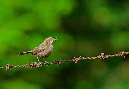 Bird, Robin, Wildlife, Nature, Ornithology, Birding