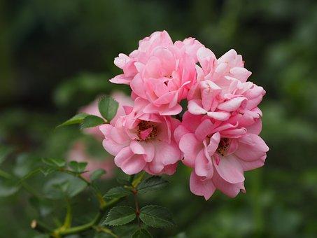 Rose, Romance, Love, Flowers, Blossom, Bloom, Nature