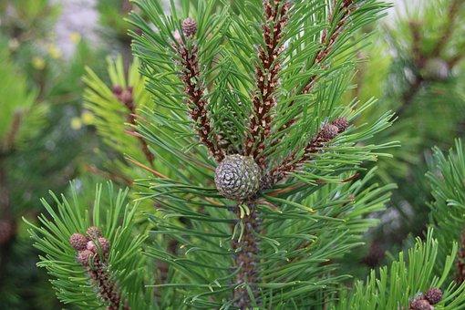 Nature, Fir, Tap, Tree, Green, Tannenzweig, Conifer