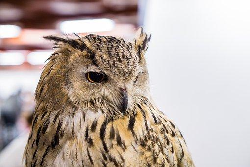 Owl, Big, Eye