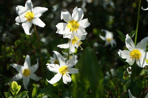 Flower, Wild, Trillium, Plant, Wild Flowers, Nature