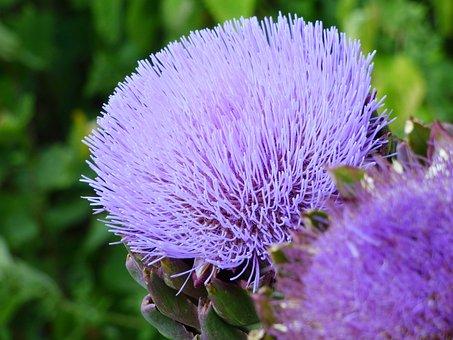 Flower, Artichoke, Nature, Garden, Purple, Rod, Botany
