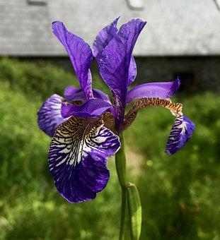 Purple Iris, Flower, Iris, Purple, Bloom, Blossom