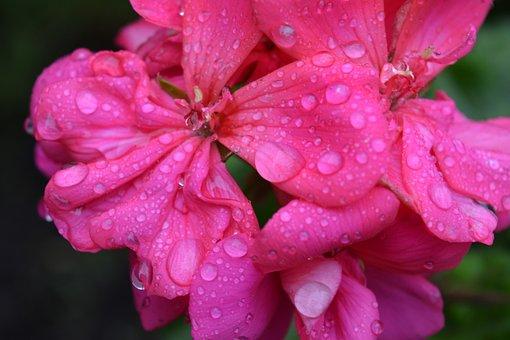 Flowers, Rain, Drops, Rocio, Rosa
