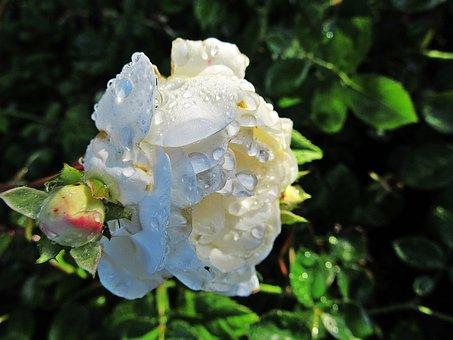 Rose, Raindrops, Sun, White Rose, Nature, White