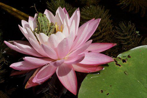 Water Lily, Frog, Pond, Water, Green, Water Frog