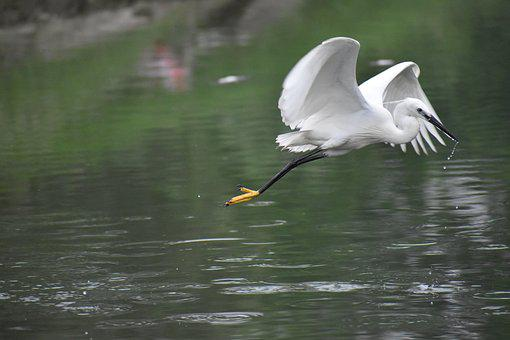 Flying Siberian Crane, White Bird, Huge Wings
