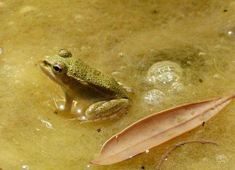 Frog, Small, Tiny, Batrachian, Raft, Algae