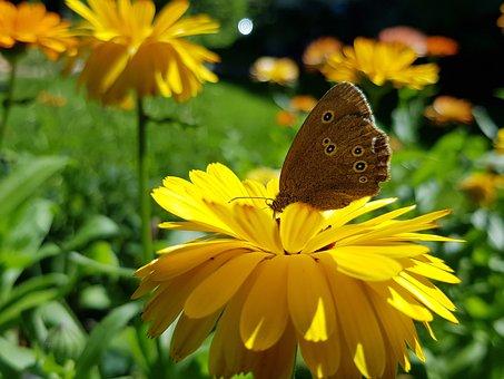 Ringlet, Butterfly, Flower, Yellow