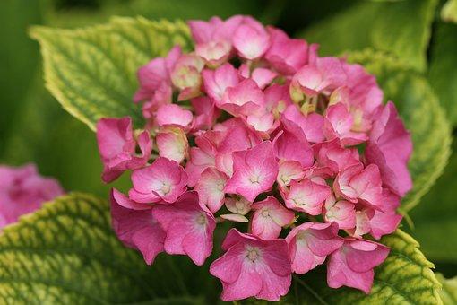 Flower, Pink, Garden, Close, Plant, Flowers, Nature