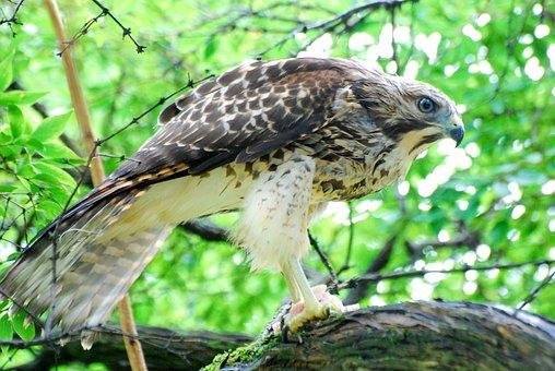Hawk, Feeding, Nature, Wildlife, Fly, Bird, Prey