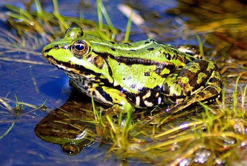 Frog, Lake, High, Water, Animal, Amphibian, Water Frog