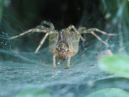 Spider, Horror Nature, Insect, Network, Cobweb, Animal