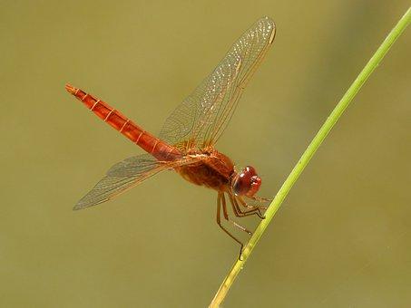 Red Dragonfly, Junco, Pond, Erythraea Crocothemis