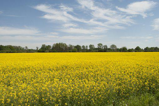 Nature, Landscape, Rapeseed Oil, Field Of Rapeseeds